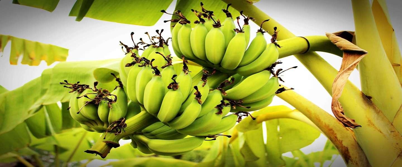Supermarkten in Azië gebruiken nu bananenbladeren in plaats van plastic