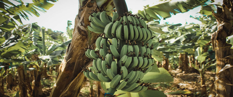 Banaanapocolypse komt steeds dichterbij