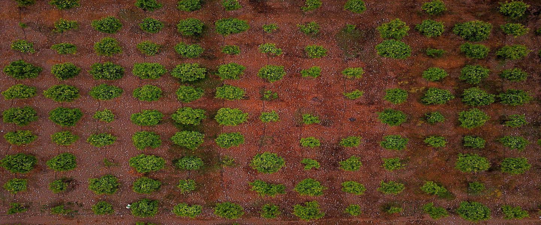 Italië doet te weinig tegen zieke olijfbomen