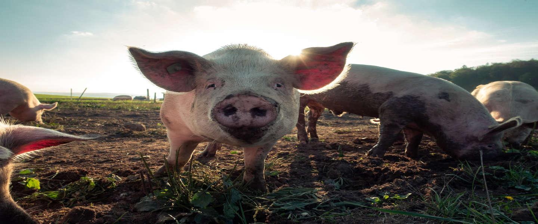 Plus gaat samenwerken met 14 Nederlandse varkenshouders