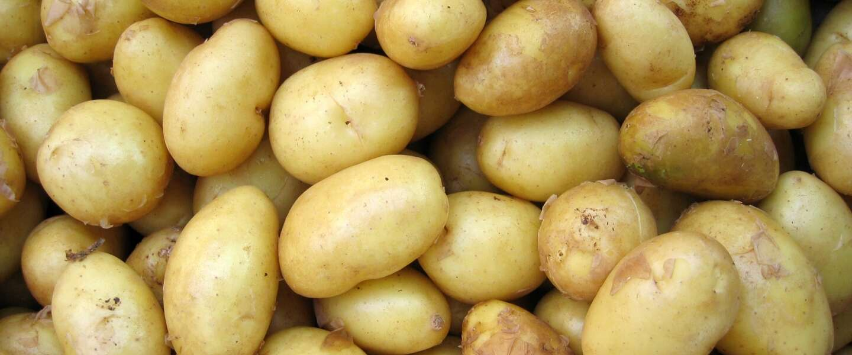 Natte zomer zorgt dat deel biologische aardappeloogst verpieperd