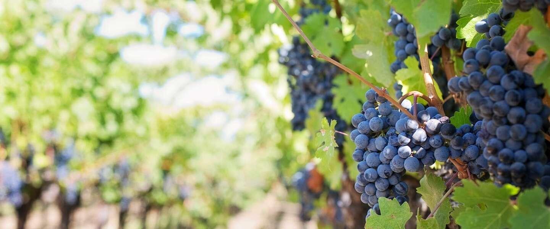 Desastreuze oogst Franse wijnboeren dreigt te zorgen voor rampjaar