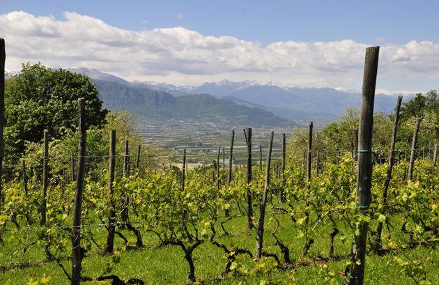 Wijngaard Piemonte_