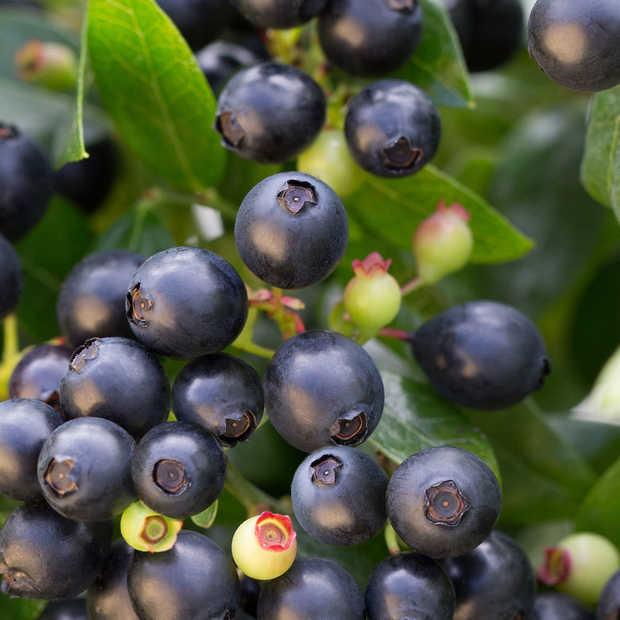 Leuk (en lekker) voor thuis. De Berry Bux, een sierplant vol eetbare blauwe bessen