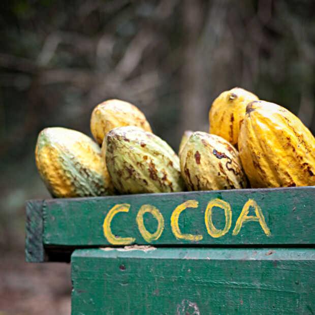 Cacao Barometer: Keurmerken zeggen niet alles, nog altijd problemen in keten