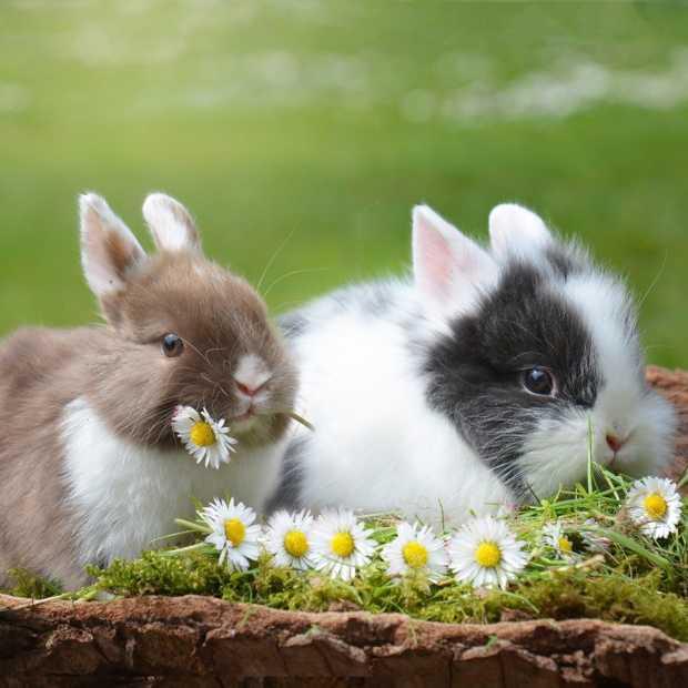 Belgische dierenorganisaties woest om campagne meer konijn te eten