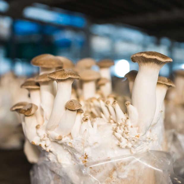 Koningsoesterzwam: de hipste vleesvervanger nu ook van eigen bodem