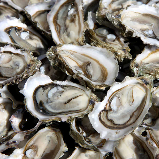 Poging oesterbanken terugbrengen in Noordzee mislukt: 85% oesters dood